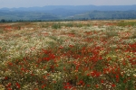 Disused field full of poppies and daisies