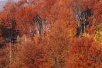 Beeches in autumn