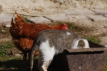 Farmyard friendship