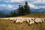 Sheep flock in the Low Tatras