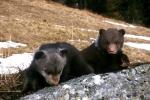 Young Brown Bears, photo Jozef Kováč