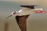 black-winged-stilt_0368-s